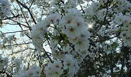Curitibanos - Curitibanos-SC-Florada da Cerejeira no Parque Sakura-Foto:Wolney Cesar Felipe