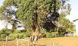 Ouro Verde - Eucalípto Centenário-Foto:adalberto antonio