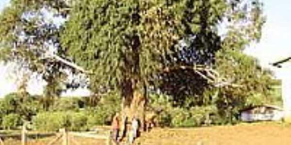 Eucalípto Centenário-Foto:adalberto antonio