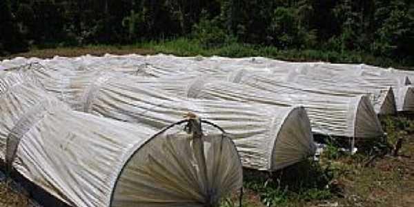 Taquaras-SC-Estufas para cultivo de Morango-Foto:Eber Beck