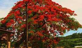 Urussanga - Urussanga-SC-Lindo Flamboyant na entrada da cidade-Foto:Carlos Meller