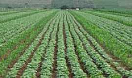 Poço Verde - Cultivo de feijão em Poço Verde-Foto:ademildo