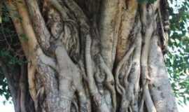 Amparo - Tronco de arvore centenary jardim . Publico, Por Marli pinto