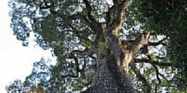 Jequitibá na Fazenda Bacuri-Foto:gilberto c r