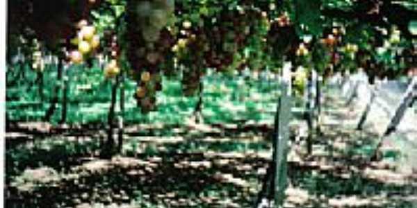 Plantação de Uva-Foto:gilberto c r