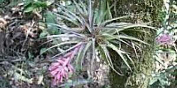 Bromélias Biritiba-Ussu