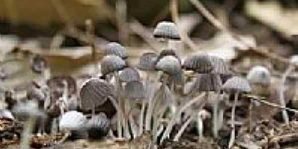 Cogumelos em chácara de Cruzeiro-SP-Foto:kasller