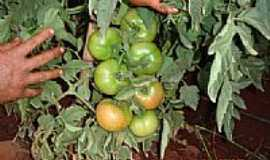 Hortol�ndia - Planta��o de tomate em Hortol�ndia-SP-Foto:Marcos tomate