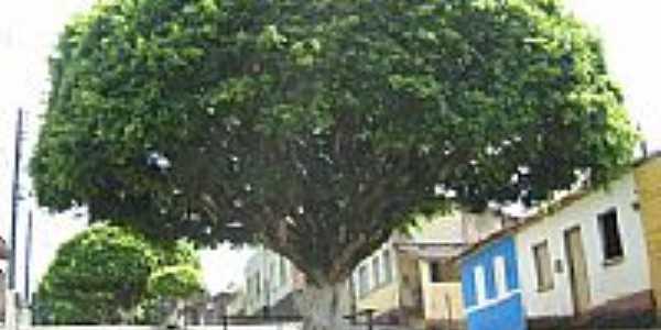 Pimenteira-BA-Árvore antiga no centro-Foto:www.blogdogusmao.com.br