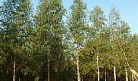 Irapuru - Planta��o eucalipto, por Itamar S. Silva