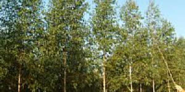 Plantação eucalipto, por Itamar S. Silva