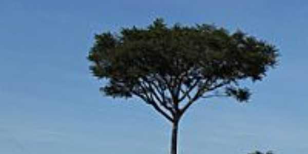Árvore Guapuruvu na estrada de Lins-Foto:gustavo_asciutti
