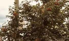 Mogi-Mirim - moji -mirim - fruta: caquizeiro, variedade chocolate, Por Rospo Mattiniero di Meolo