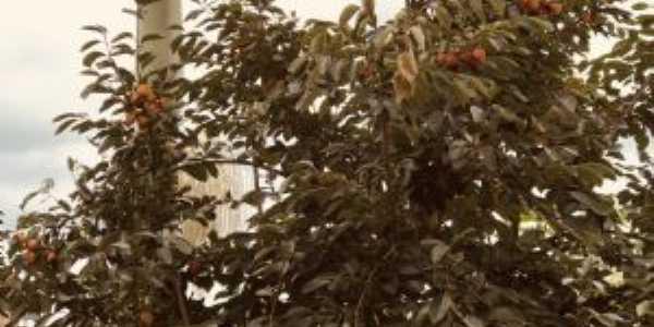 moji -mirim - fruta: caquizeiro, variedade chocolate, Por Rospo Mattiniero di Meolo