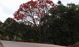Mostardas - Mostardas-SP-Árvore Bico de Papagaio florida-Foto:Antonio Andrade