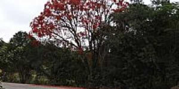 Mostardas-SP-Árvore Bico de Papagaio florida-Foto:Antonio Andrade