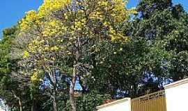 Pardinho - Pardinho-SP-Ipê amarelo em Rua Pinto Nunes-Foto:Mauro Bassetto