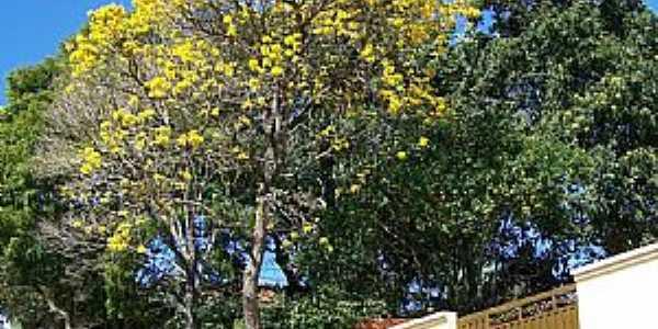 Pardinho-SP-Ipê amarelo em Rua Pinto Nunes-Foto:Mauro Bassetto