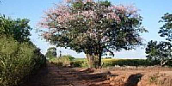 Paineira-Foto:rfaloppa