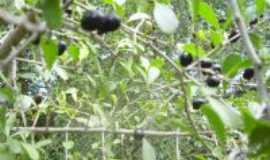 Quixabeira - Frutos da árvore Qyuxabeira que deu o nome à cidade, Por Por Telma Novaes e Cunha