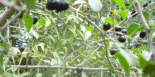 Frutos da árvore Qyuxabeira que deu o nome à cidade, Por Por Telma Novaes e Cunha
