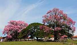 Santa Adélia - Santa Adélia-SP-Paineiras floridas-Foto:STUBRIC