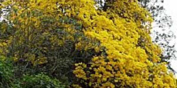Santa Isabel-SP-Ipê amarelo ao lado da Casa da Agricultura-Foto:FabioLaurindo