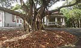 Santo André - Santo André-SP-Árvore antiga na Escola de Teatro,Parque Regional da Criança-Foto:andrelh87