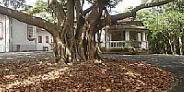Santo André-SP-Árvore antiga na Escola de Teatro,Parque Regional da Criança-Foto:andrelh87