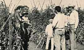 Sumaré - Colheita de tomate na década de 60 em Sumaré-SP-Foto:Marcos tomate