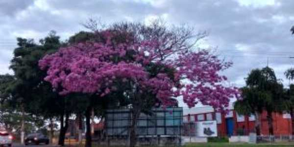 Ypê rosa próximo terminal rodoviário e av.tabajaras - Por Reinaldo