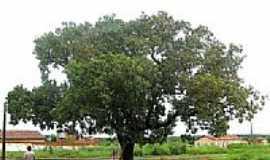 Aguiarnópolis - Aguiarnópolis-TO-Pequizeiro,árvore que produz o Pequí-Foto:Jose Wilson