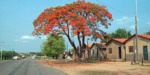 Axixá do Tocantins-TO-Flamboyant na entrada da cidade-Foto:Fernando Cunha