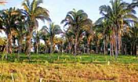 Buriti do Tocantins - Babaçu nativo em Buriti do Tocantins-To por Odir Correia