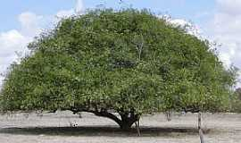Santaluz - Santaluz-BA-Umbuzeiro árvore símbolo da caatinga-Foto:donato andrade junior